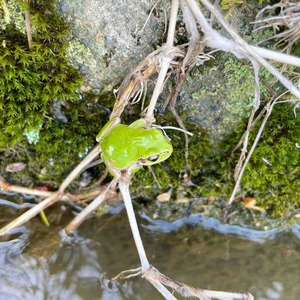 用水のカエル