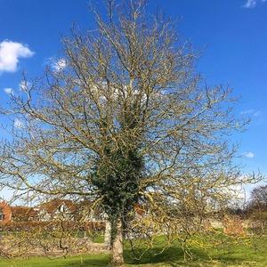 イギリス樹木3