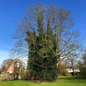 イギリス樹木4