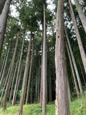 真っ直ぐな木