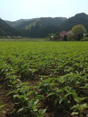 栃木県麻畑