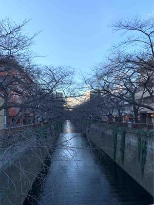 冬の目黒川の桜