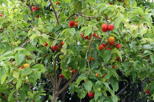 ピタンガの木