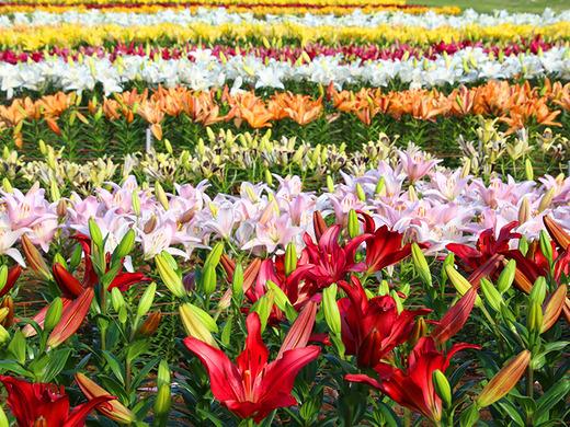 第20回伊江島ゆり祭り 5月5日(祝)世界のゆり花畑