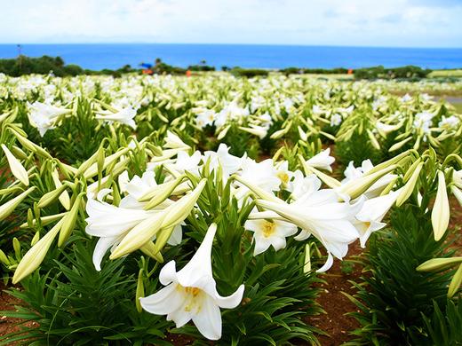 第21回伊江島ゆり祭り 4月26日のテッポウユリ