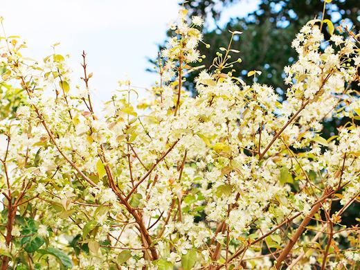 ピタンガの花がふんわり
