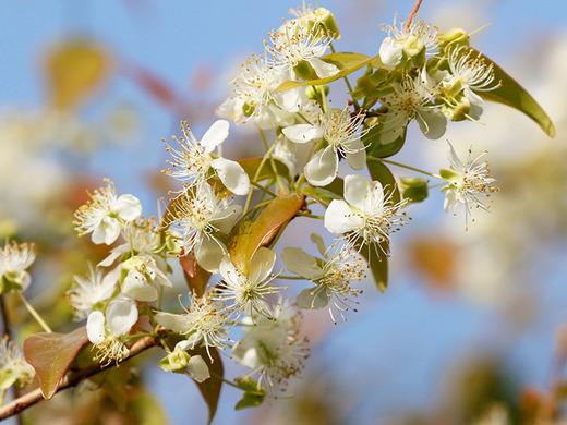 ピタンガの花アップ