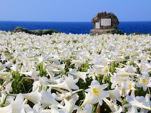 第20回伊江島ゆり祭り 5月5日(祝)の開花状況2