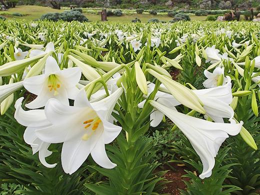 「第21回伊江島ゆり祭り」4月21日の開花状況