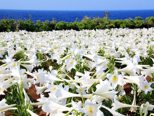 第20回伊江島ゆり祭り 5月5日(祝)の開花状況1