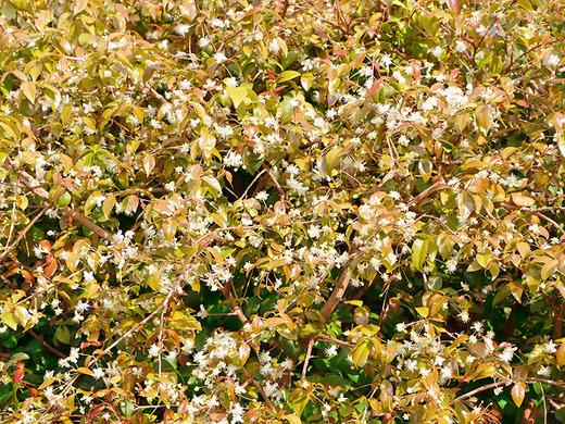 ピタンガの花がいっぱい