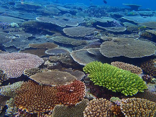 伊江島の復活したサンゴ