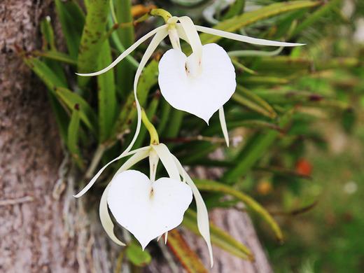 ブラッサボラ・ノドサ(Brassavola nodosa)