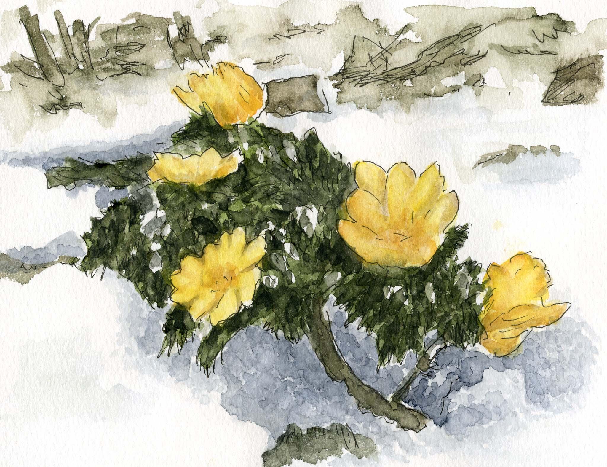 福寿草(1) My comfortable life : 福寿草を描いてみました。 My com