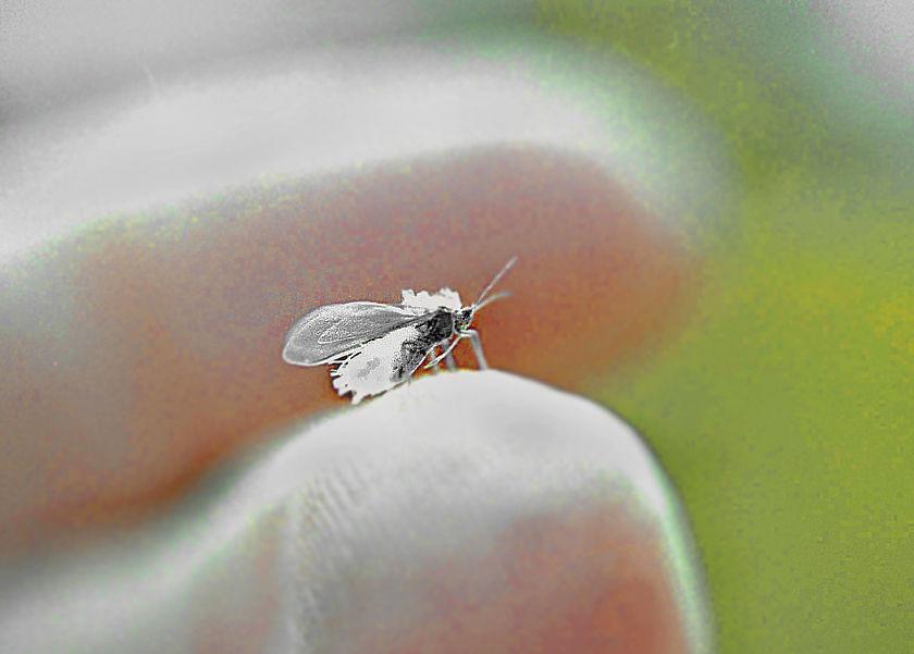 広島の雪虫  かべのむさしのブログ