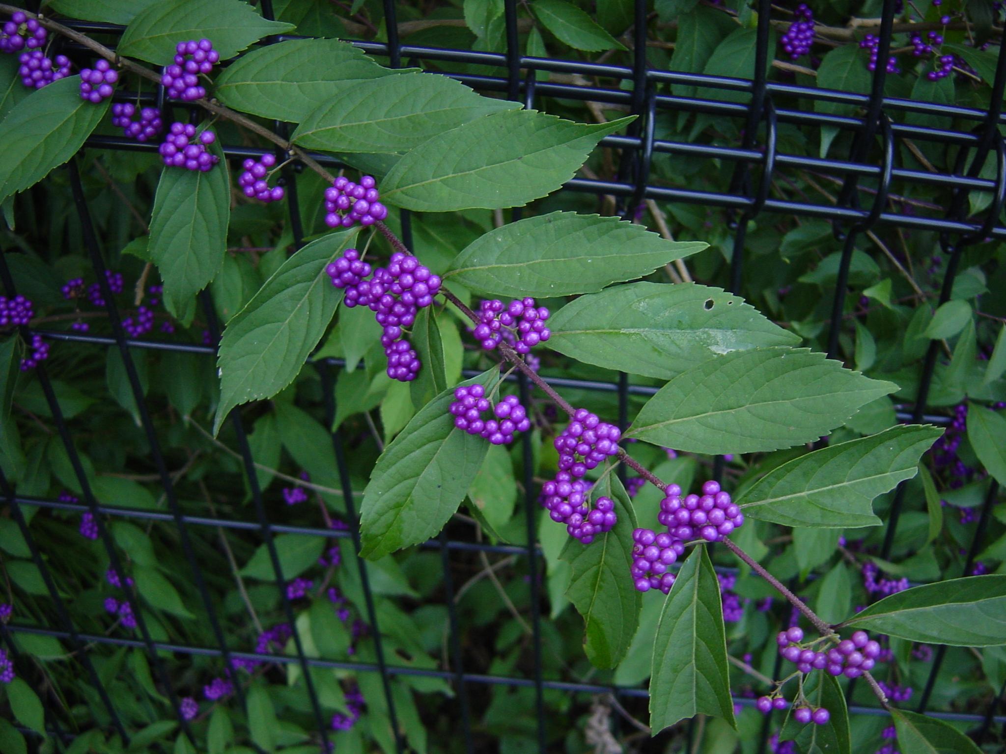 植物 紫式部 花言葉
