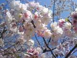 桜、ものから