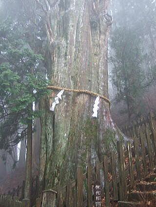 神秘的な神代杉