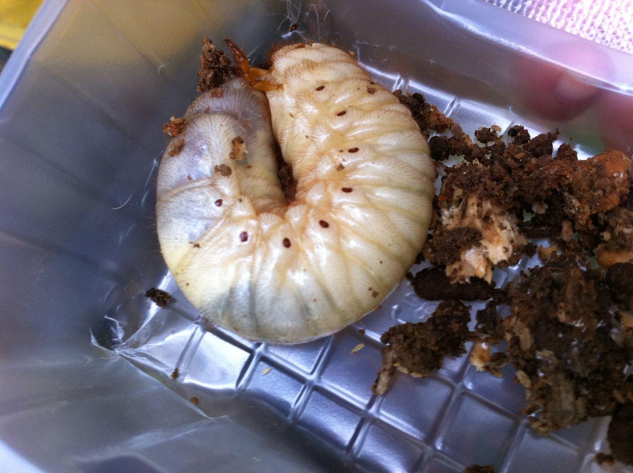 カブトムシの幼虫 土から出てくる