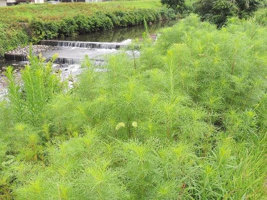 川辺のコスモス畑