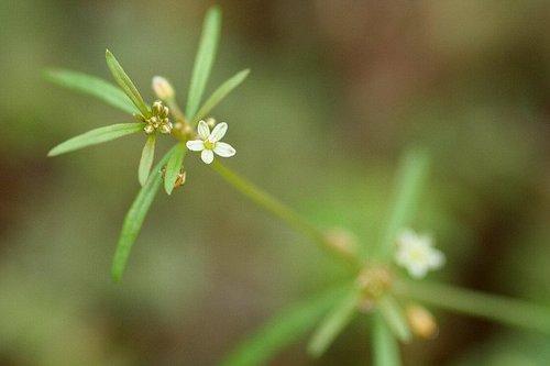 葉は茎に4-7個が輪生(クルマバ)します。