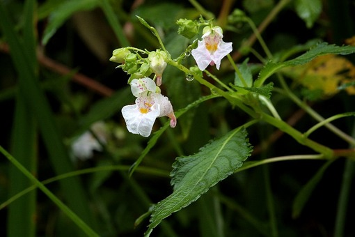 白花ツリフネソウ