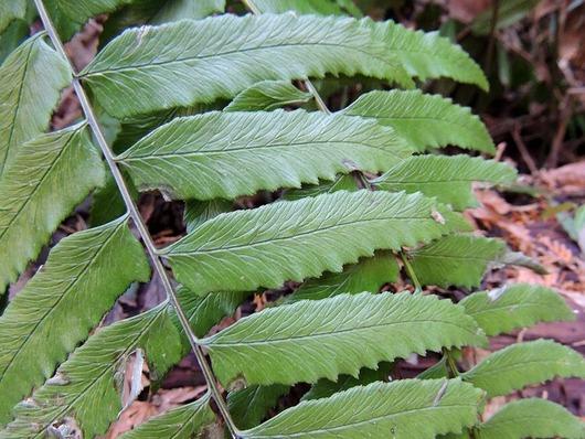 ノコギリの様な葉