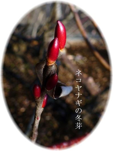 ネコヤナギの冬芽
