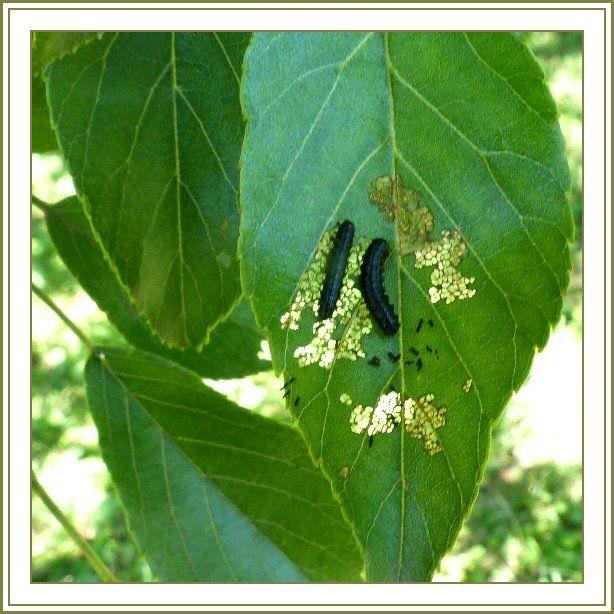 ハンノキハムシ(幼虫)
