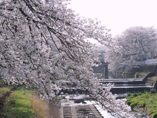 霞川のサクラ