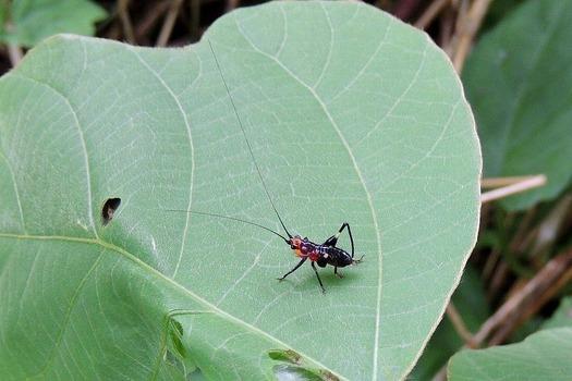 ササキリの幼虫
