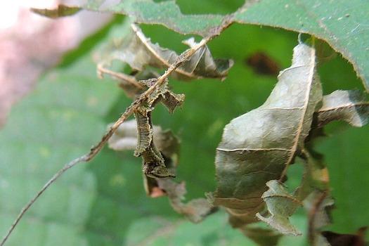 スミナガシ(蝶)の幼虫