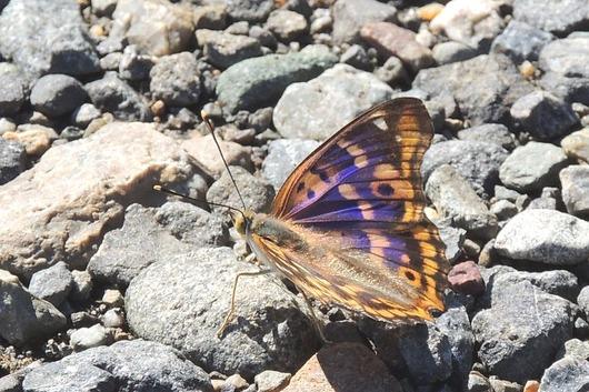 表翅の紫色の輝き〜!