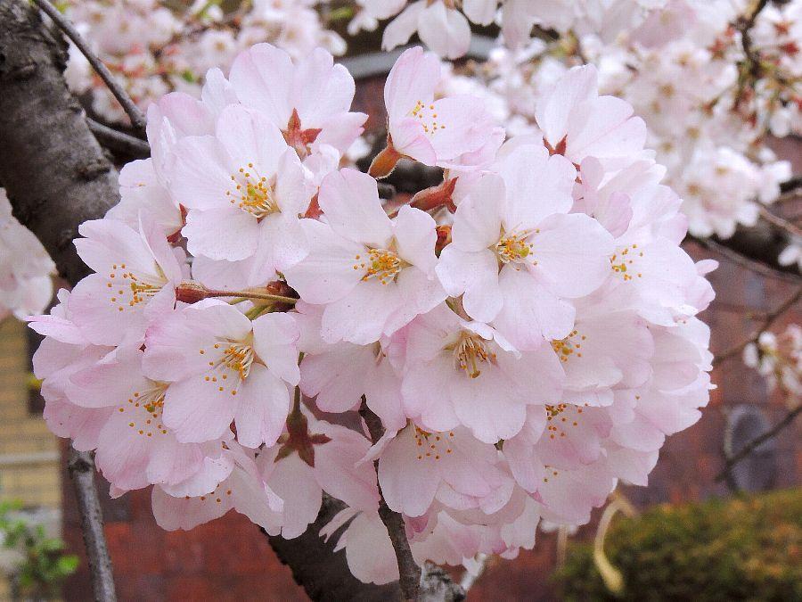 かえで☆のデジブラ日記〜♪  神代曙・桜コメント                kaedecyan38