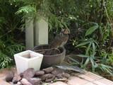DSCN4005 ヒヨドリ 幼鳥