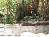 DSCN4028 ヒヨドリ 幼鳥