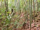 DSCN2034 竹が繁茂する堤体