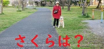 桜残念20200402_061813_001