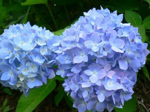広島空港近くの中央森林公園にある三景園で花まつり(あじさい)