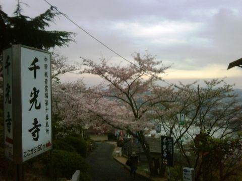 広島県尾道の千光寺公園の桜