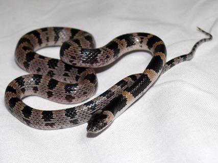 Japanese-odd-tooth-snake