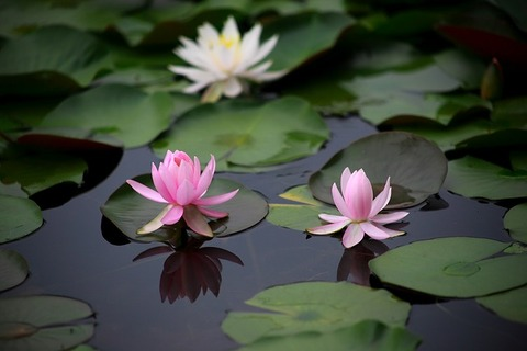 water-lilies-3457878_640