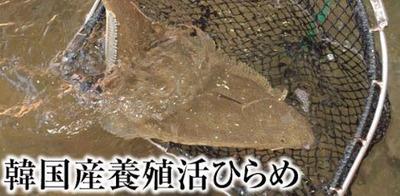 韓国産養殖ヒラメ