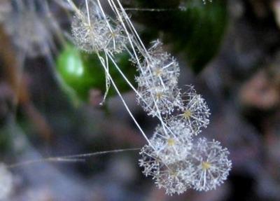 珍種のカビ 胞子嚢柄