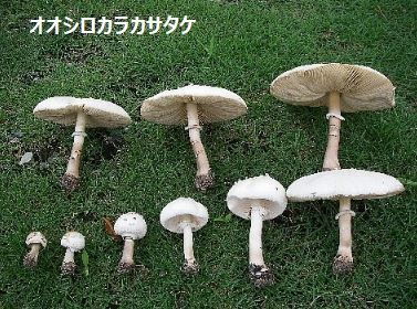 オオシロカラカサタケ
