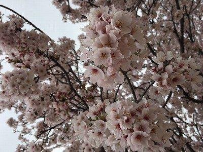 春の訪れ*桜咲く*