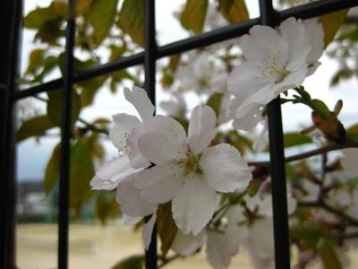 写真:虎渓公園&北高の桜2010 040