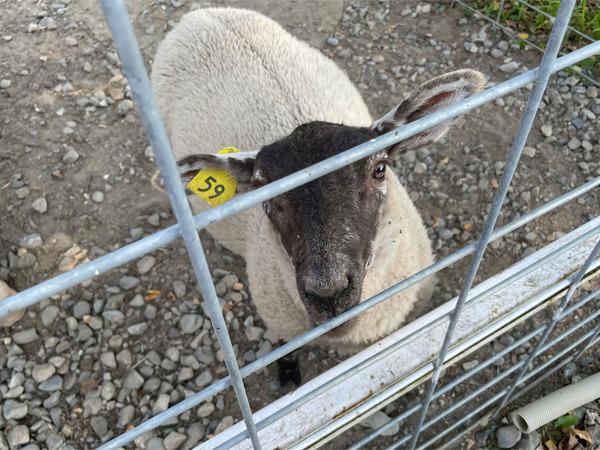 09ふれあい牧場内の羊