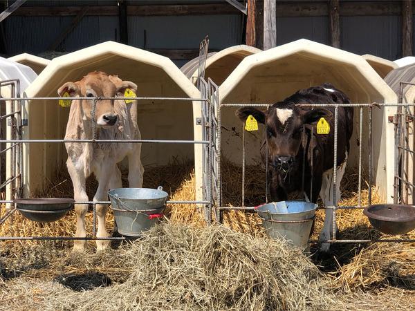 15子牛が間近で見れます