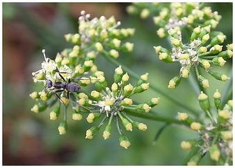 パセリの木と蟻